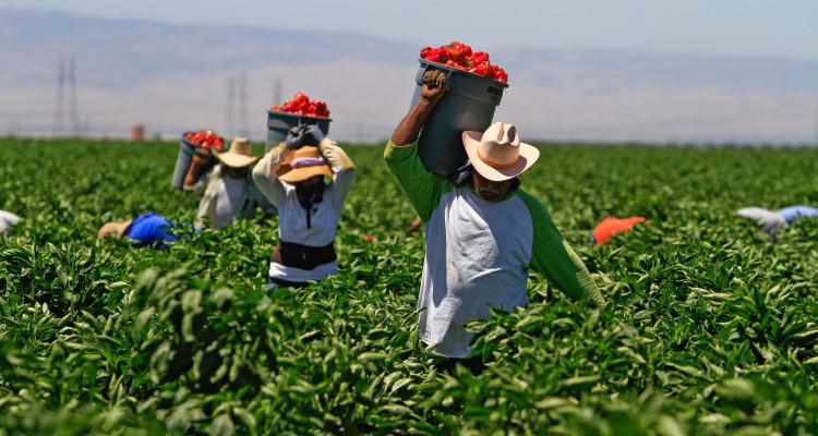 Campesinos ganan más por amapola que por azúcar