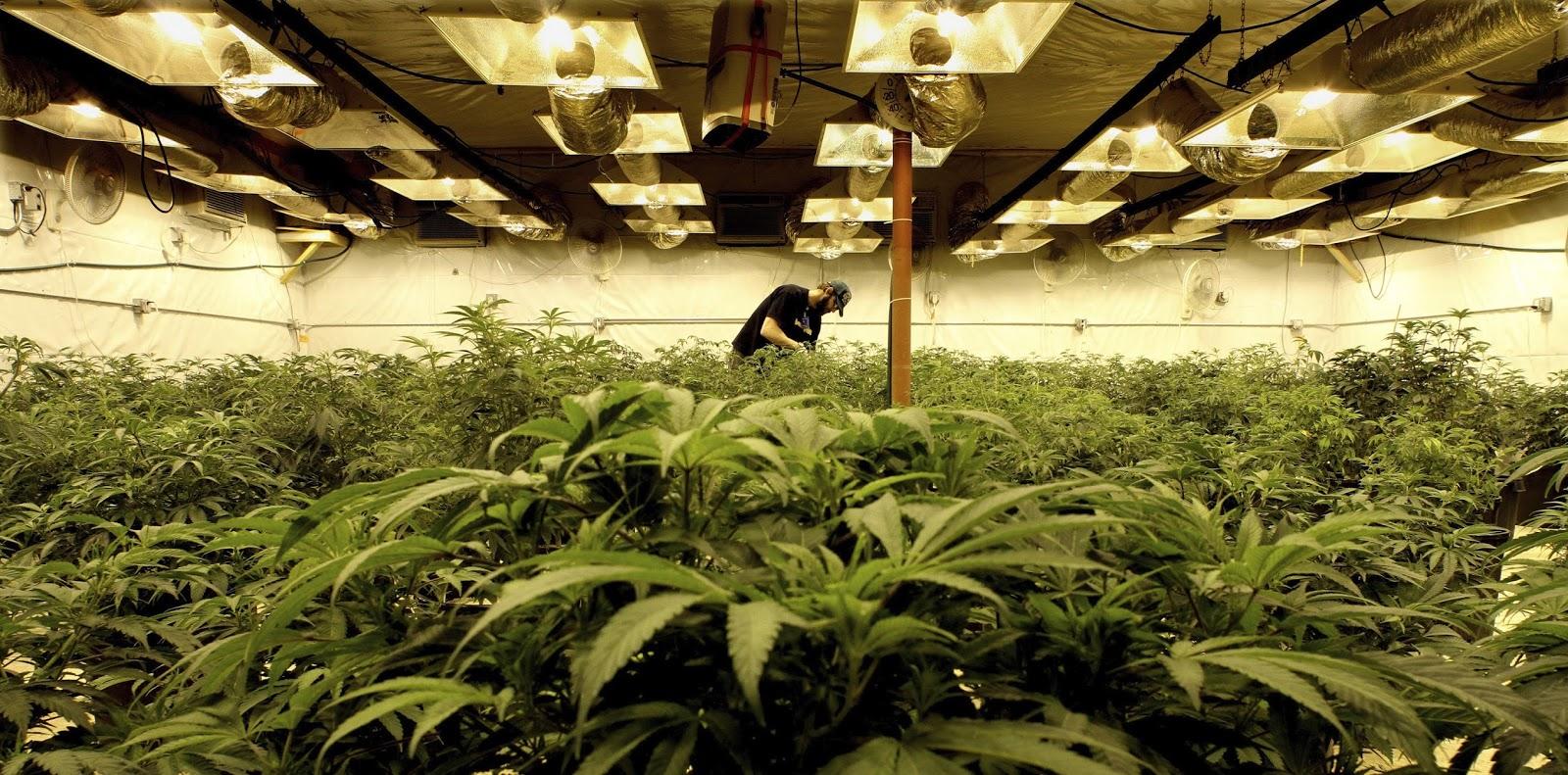 Cannabis  dinamizará la creación de empleos
