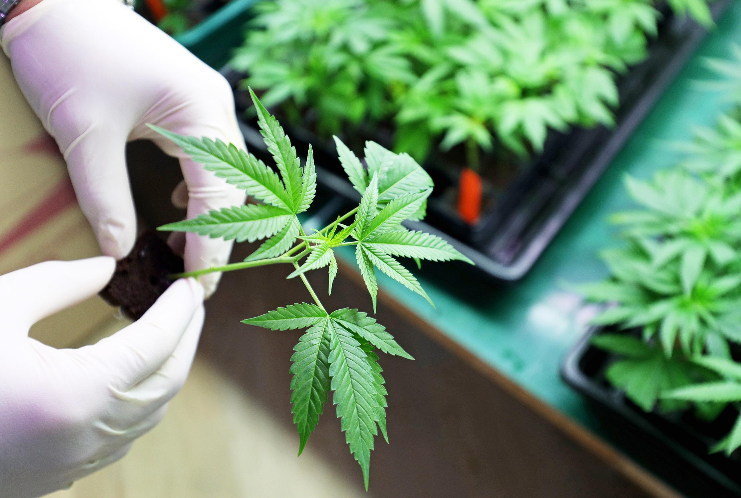 Entregan reglamento para uso de la cannabis medicinal