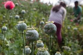 Evalúa Conadic producción de opio
