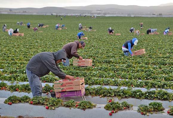 México enviará cerca de 23,000 jornaleros agrícolas a Canadá y Estados Unidos