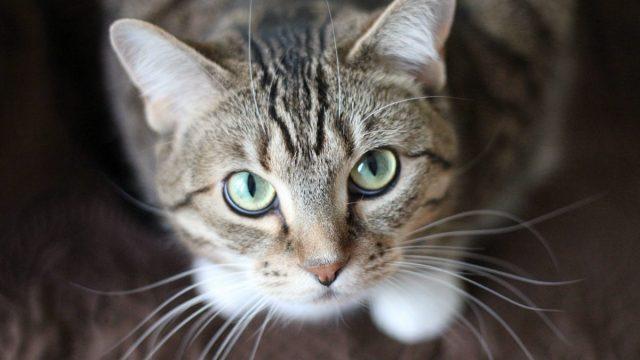 Siempre sí: Los gatos pueden contraer coronavirus: OMS