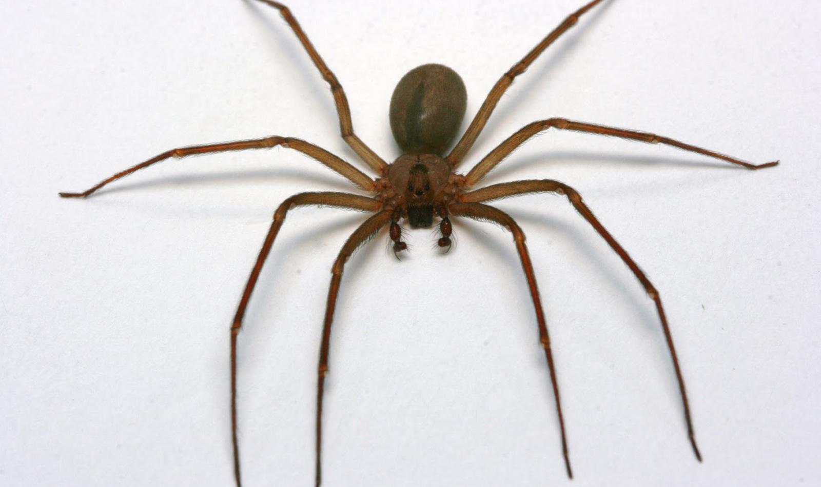 ¡Ten cuidado! IMSS alerta por picadura de arañas 'violinista' y 'viuda negra'