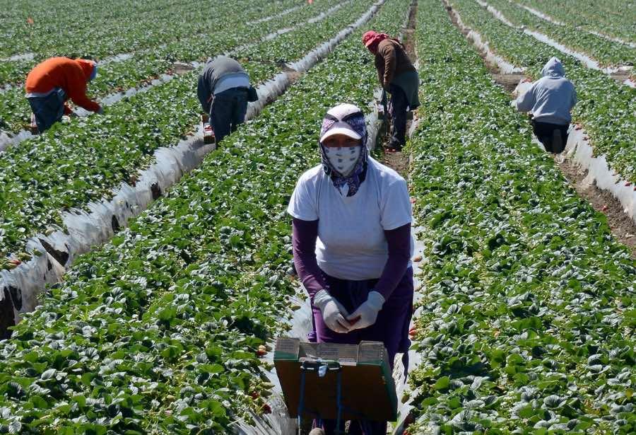 Laboran más de 20 mil trabajadores agrícolas en Canadá por más de  50 mil pesos al mes