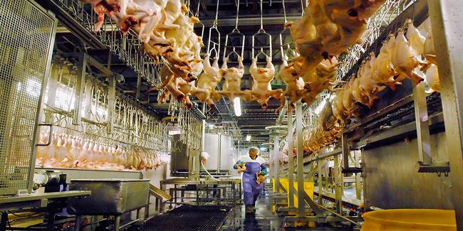 """Trabajadores avícolas con """"pañal"""" para hacerse del baño"""
